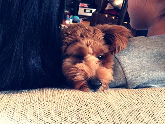 プードル犬の写真